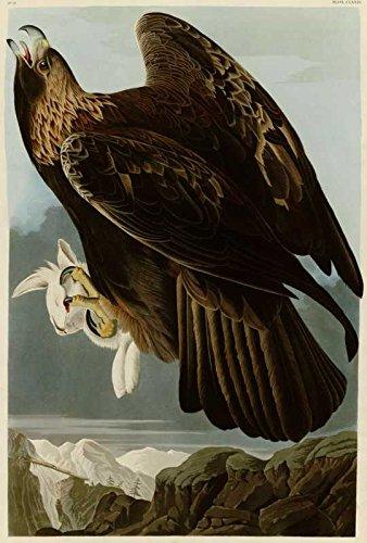 Das Museum Outlet–Audubon (– Golden Eagle–Teller 181–Poster Print Online (61x 45,7cm) (181 Jeans)