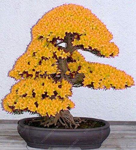 20 graines japonais jaune Fleur de cerisier Sakura Arbre Oriental douce Prunus Graines de fleurs pour jardin