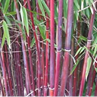 Himalayacalamus falconeri - bambú bastón de cramelo - 10 semillas