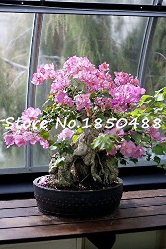 100% originales de haute qualité 10pcs Mix-couleur Bougainvillea spectabilis Willd Graines bonsaï plantes graines de fleurs