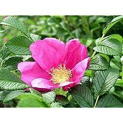ASTONISH Semi Pacchetto: 30 semi: Rosa Rugosa Rosa, Rosa Rugosa Rosa, Semi (Hardy, veloce, fragrante, commestibile)