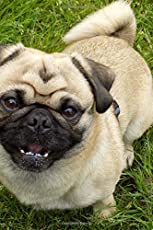 A Happy Smiling Tan Pug Puppy Dog Pet Journal