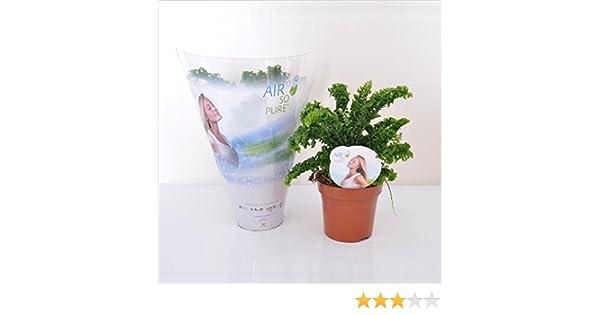 Cleans the Air! Nephrolepis exaltata Emina Fern in a 12cm Pot
