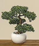 Unbekannt Bonsai im Topf H33cm (Buchsbaum)
