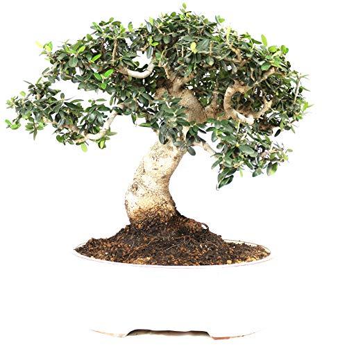 Bonsai, Olivenbaum, Olea europaea sylvetris, 20 Jahre, 35 cm Höhe