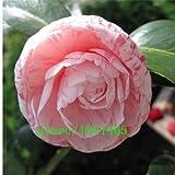 Original Pack 30Samen/Pack, Verkauf Camellia Impatiens, Blumen-Samen Bäumchen im Topf, Samen camã © Lia, hennã ©, © langà ©