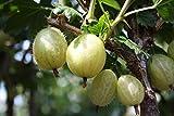 Stachelbeere Säule Invicta süß-sauer 100+ cm weißes Säulenobst Balkonobst 1 Pflanze