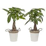 BOTANICLY | 2 × Plantas naturales | Altura: 38 cm | Pachira aquatica
