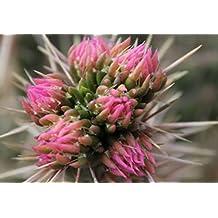 """Kakteengarten 1 Pflanze winterharte Cylindroopuntia imbricata """"Pinky"""" im 9cm Topf"""