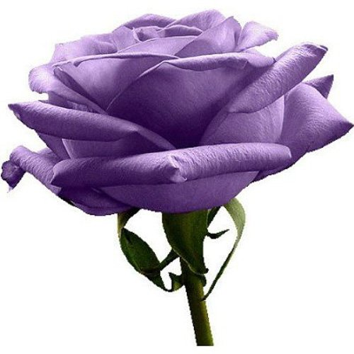 sonline-rosa-purpura-raro-5-semillas-color-bonito
