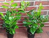 30 Kirschlorbeer, Prunus Novita, Höhe: 40-50 cm ab Topf, ideal als Hecke