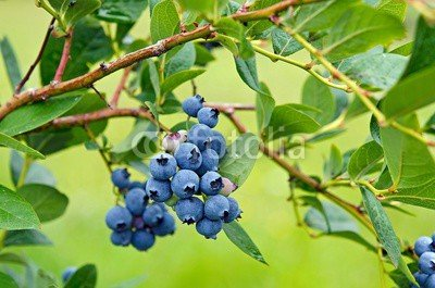 druck-shop24 Wunschmotiv: ripe blueberry cluster on a blueberry bush #88139399 - Bild hinter Acrylglas - 3:2-60 x 40 cm/40 x 60 cm