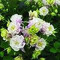 lichtnelke - Akelei (Aquilegia vulgaris WINKY DOUBLE ROSE & WHITE) von Lichtnelke Pflanzenversand auf Du und dein Garten
