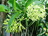 #5: Night-blooming Jasmine (Cestrum nocturnum) Queen of Night live plant.