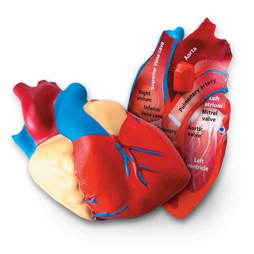 Learning Resources LER1902 Schaumstoffmodell menschliches Herz in Querschnittansicht (Modell Herz)