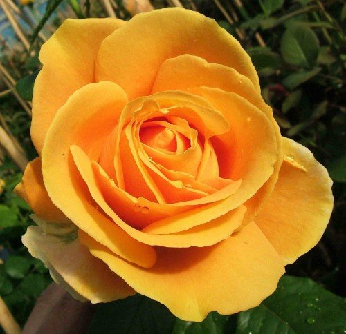 Candlelight® Duftrose