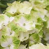 Hortensie Gartenhortensie Magical Noblesse weiß