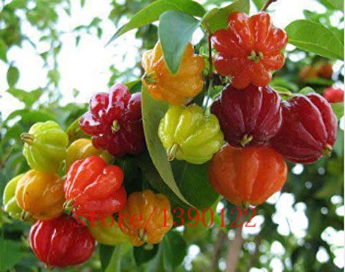 AGROBITS 20Pcs Surinam Kirsche Samen, Pitanga Fruchtsamen, Brasilianische Kirsche {Red} -