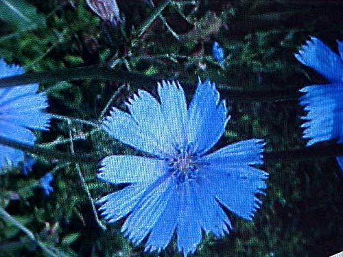 GEOPONICS Alocasia sanderiana Pflanze, Kris/Keris Pflanze, Sander Alocasia,