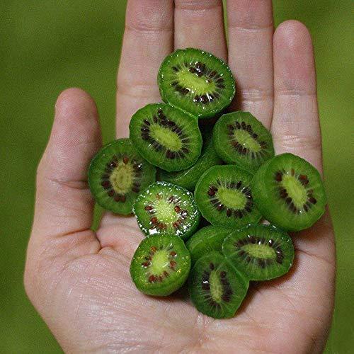 DaDago 100 Unids/Bolsa Mini Kiwi Berry Semillas Cóctel Especial Miniatura Kiwi Berry Hardy Actinidia Arguta Frutas Semillas Primavera Bonsai Planta para Patio Jardín