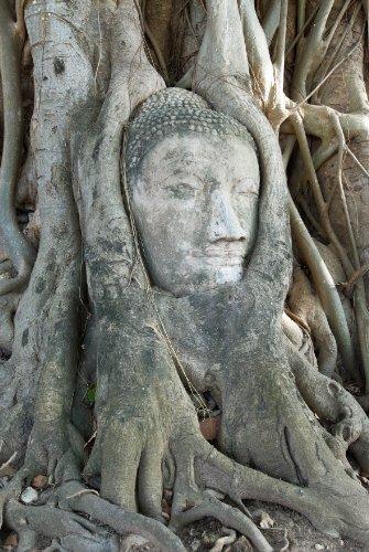 Seedeo Bodhi Tree / Buddha Baum (Ficus religiosa) 100 Samen