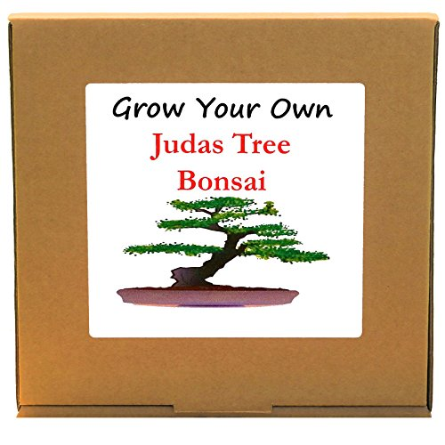 Grow Your Own Californian Redwood Bonsai Tree Kit Unique and Quirky Complete Beginner Friendly Indoor Gardening Gift for Men Women or Children Unusual