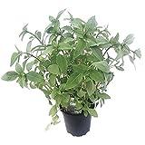 Thai-Basilikum im Topf in Gärtnerqualität / Kräuter / Pflanze / Küchenkräuter-Pflanze