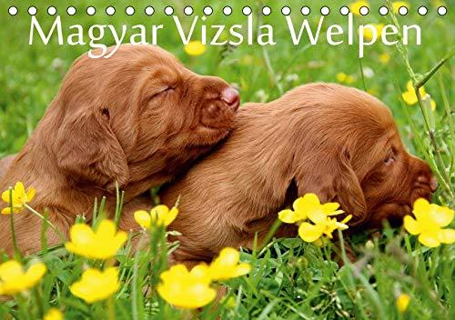 Magyar Vizsla Welpen (Tischkalender 2020 DIN A5 quer): Magyar Vizsla Welpen - eine Rasse mit Charme und Herz (Monatskalender, 14 Seiten ) (CALVENDO Tiere) -