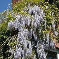 Blauregen - Wisteria sinensis 60-100 cm, ab 2 Triebe von Gartengruen24 auf Du und dein Garten
