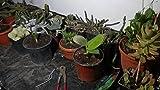 Zimmerpflanze für Wohnraum oder Büro – Musa dwarf Cavendish - Bananenbaum. Höhe 40cms