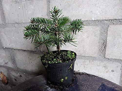 10 Stk. Nordmanntanne – Weihnachtsbaumjungpflanze- Topfware 3 jährig 8-15 cm