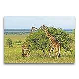 Calvendo - Tela per proiezioni in Tessuto, 75 x 50 cm ARS-Bavaria - Immagine su Telaio Raffigurante Due Giraffe Che mangiano Le Foglie da Un Albero, Realizzata in Tanzania, Africa e Animali
