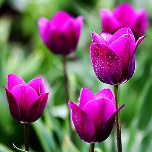 TankMR 50 Stücke Tulpenzwiebeln Blumensamen, Open-Pollinated, Wilde Blumensamen Pflanzen, Bienen, Kolibris, Schmetterlinge, Bestäuber, Bürogarten Decor Rosa Tulpensamen