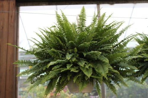 Zimmerpflanze - Nephrolepsis - Boston-Farn - Buschige Zimmerpflanze, ca. 30cm hoch- Im hängenden Topf