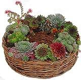 Kranz Bepflanzt mit Sempervivum (Dachwurz, Hauswurz), winterhart, mehrjährig, immergrün Ø 30 cm