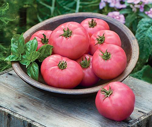 Bobby-Seeds Tomatensamen Big Pink F1 Portion - Die Tomaten-samen, Gegen Resistent Krankheiten