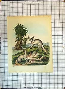Copie Antique de Nature Morte d'Oiseau de Grandes Oreilles d'Animaux de Couleur