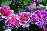 Rose Princess Alexandra of Kent® (im grossen Container) - Kräftig entwickelte Pflanze im 6lt-Topf