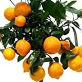 Rote Limette Citrus limon rossa Stamm 70 cm mit Früchten 10+