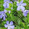 Immergrün Vinca minor Josefine 9 cm Topf 10 Stück von Gartenbau Menke auf Du und dein Garten
