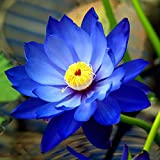 #10: BLUE LOTUS FLOWER SEEDS (Rare Color) Pack of 10 Pcs - BEE Garden Organic