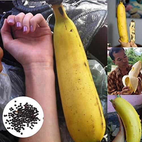 Soteer Garten - Riesen Banane Samen Banane Baum Samen exotische Pflanzen Obst Frucht Samen mehrjährig winterhart ertragreich für Garten Balkon/Terrasse