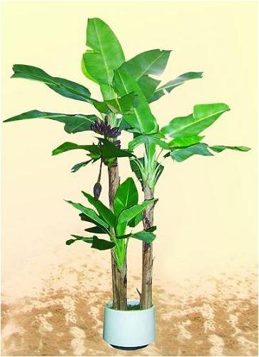 Bananenbaum 33Blatt/1Staude/3Stamm 250cm