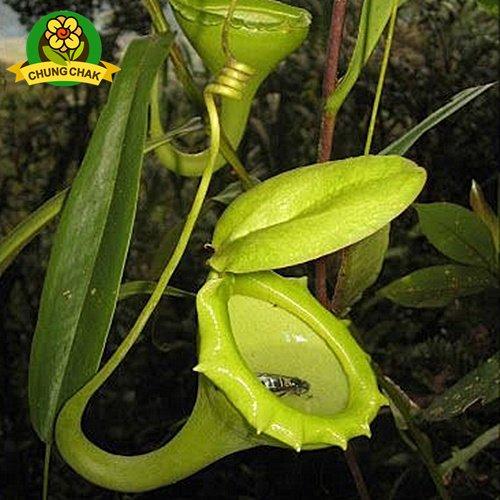 Manger moustiques Plantes carnivores Graines Nepenthes 200pcs / sac Pitcher Tropical Plante Catch insectes Jardin Bonsai pot Easy Grow 9