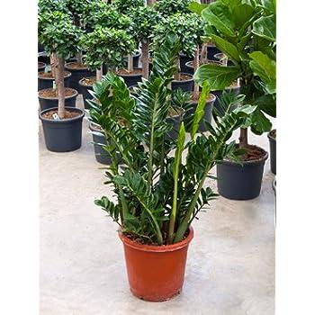 Glücksfeder, Zamioculcas zamiifolia, ca. 100 cm, pflegeleichte Zimmerpflanze, 34 cm Topf