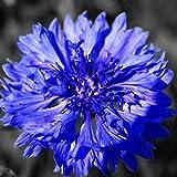 AGROBITS 50Pcs Fiordaliso Semi Centaurea cyanus confezione originale Seeds