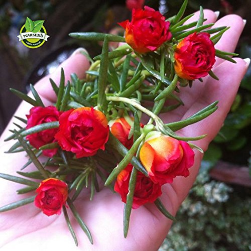 500 couleurs mélangées Moss-rose Pourpier Double Graines de fleurs pour la plantation (Portulaca grandiflora), tolérante à la chaleur, la culture facile