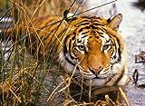 Nathan Puzzle 500 Teile - Tiger auf der Lauer
