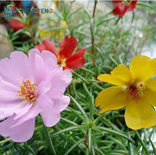 2015 Hot Sale bonsaï graines de fleurs Graines de tournesol Portulaca grandiflora pourpier 200 pivoine asperges