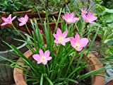 #5: Live Plant - (PINK) Zephyranthes Candida/Rainflower / Zephyr lily/Magic lily/Atamasco lily/Rain lily Flower Plant - 1 Healthy Live Plant